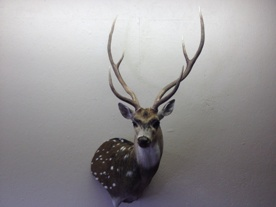 Axis Deer Taxidermy