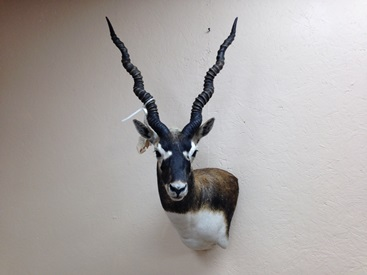 Blackbuck Wall Pedestal Mount