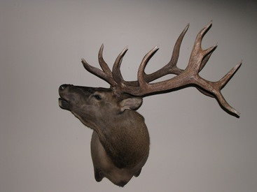 Elk Bugling Shoulder Mount