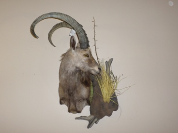 Nubian Ibex Shoulder Mount
