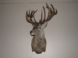 Red Stag Taxidermy